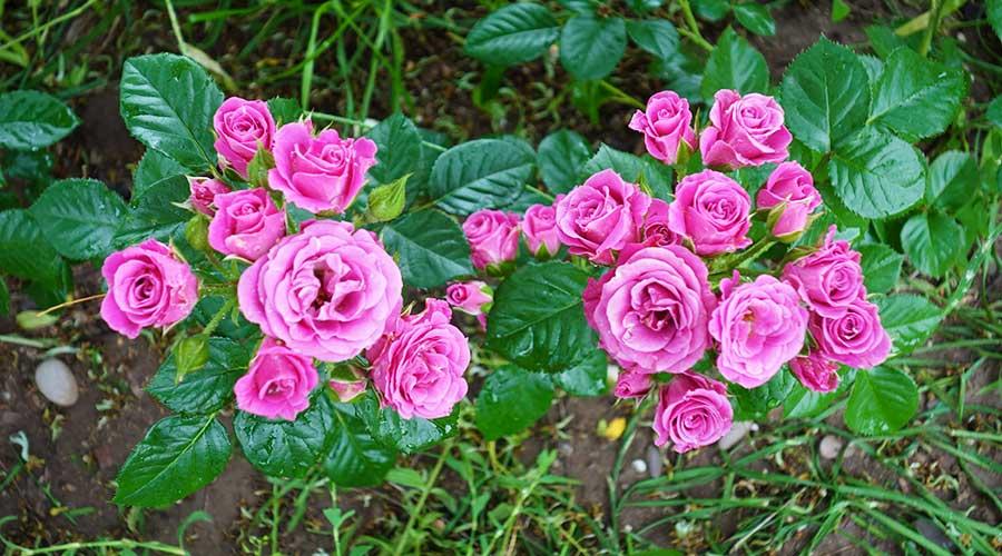 Маленькие розовые розы Евпатория