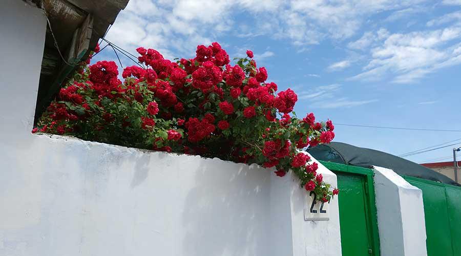 Розы над забором Евпатория