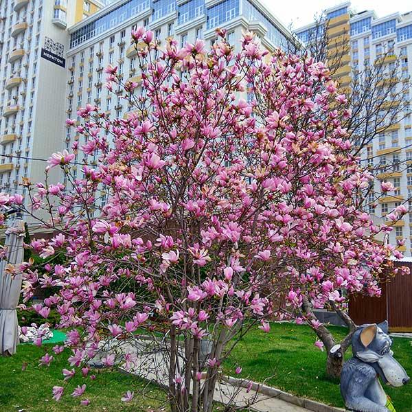 фото цветущей магнолии в краснодаре если знаете, где